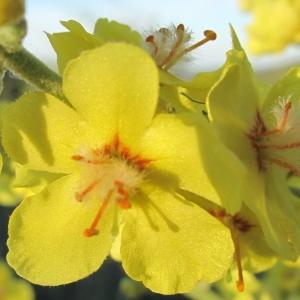 Photographie n°33623 du taxon Verbascum pulverulentum Vill. [1779]