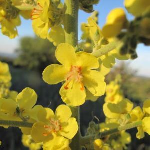 Photographie n°33624 du taxon Verbascum pulverulentum Vill. [1779]