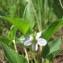 Hugues TINGUY - Viola persicifolia Schreb.