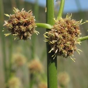 Scirpus holoschoenus L. (Scirpe-jonc)
