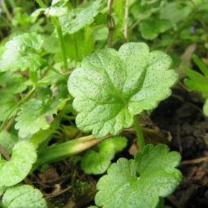 Photographie n°33687 du taxon Veronica filiformis Sm.