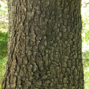 Photographie n°33778 du taxon Quercus ilex L. [1753]