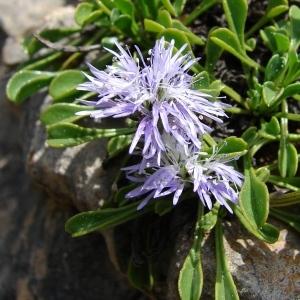 Photographie n°33832 du taxon Globularia cordifolia L.