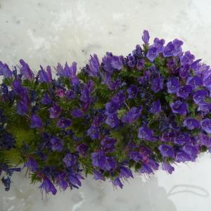 Photographie n°33887 du taxon Echium vulgare L.