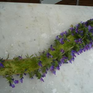 Photographie n°33890 du taxon Echium vulgare L.