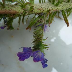Photographie n°33893 du taxon Echium vulgare L.