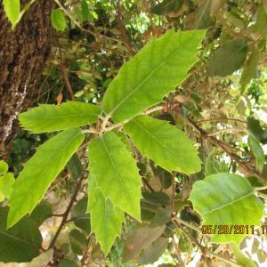 Photographie n°34203 du taxon Quercus ilex L. [1753]
