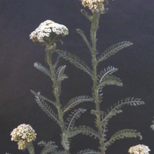Photographie n°34217 du taxon Achillea odorata L.