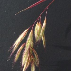 Bromus lanceolatus Roth (Brome à grands épillets)