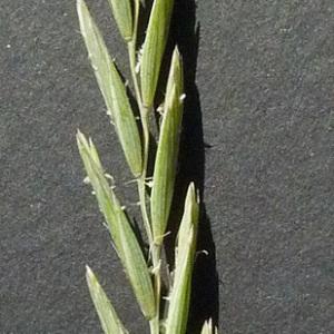 Photographie n°34254 du taxon Elytrigia campestris (Godr. & Gren.) Kerguélen ex Carreras [1986]