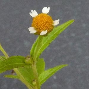 Photographie n°34257 du taxon Galinsoga parviflora Cav.