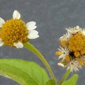 Photographie n°34259 du taxon Galinsoga parviflora Cav.