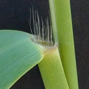 Photographie n°34299 du taxon Phragmites australis (Cav.) Steud.