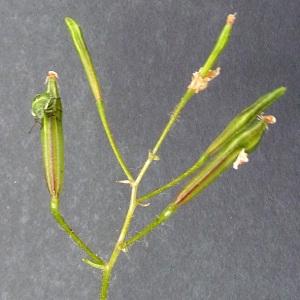 Photographie n°34319 du taxon Impatiens parviflora DC.