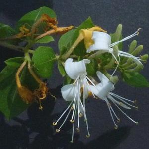 Lonicera japonica Thunb. (Chèvrefeuille du Japon)