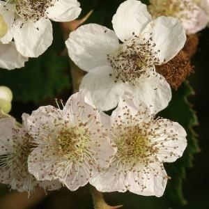Rubus procerus P.J.Müll. ex Boulay (Ronce précoce)