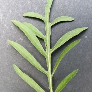 Photographie n°34348 du taxon Centaurea scabiosa L. [1753]