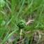 Catherine MAHYEUX - Ranunculus angustifolius DC. [1808]