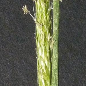 Photographie n°34403 du taxon Alopecurus myosuroides Huds.