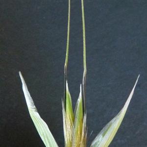 Photographie n°34404 du taxon Avena fatua L. [1753]