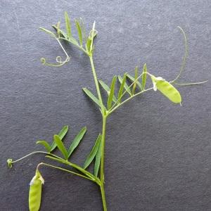 Photographie n°34423 du taxon Vicia tetrasperma (L.) Schreb. [1771]