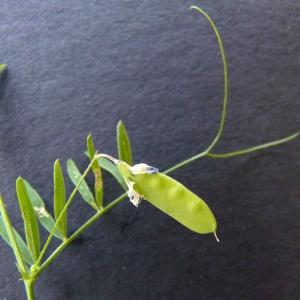 Photographie n°34424 du taxon Vicia tetrasperma (L.) Schreb. [1771]