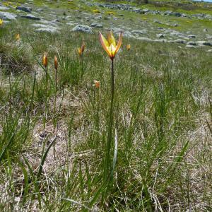 Photographie n°34425 du taxon Tulipa sylvestris L.