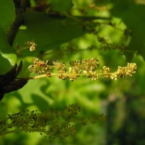 Photographie n°34451 du taxon Quercus robur L. [1753]