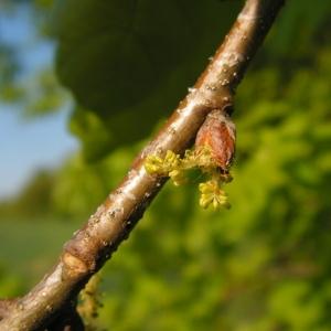 Photographie n°34452 du taxon Quercus robur L. [1753]
