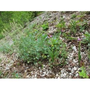 Rumex scutatus subsp. scutatus var. glaucus (Jacq.) Poir. [1804]