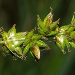 Carex pairae F.W.Schultz (Laiche de Paira)