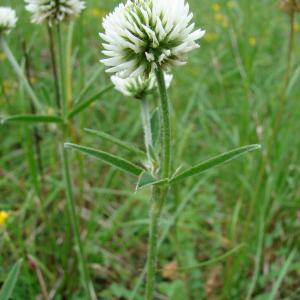 Photographie n°34461 du taxon Trifolium montanum L.