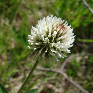 Photographie n°34466 du taxon Trifolium montanum L. [1753]