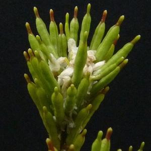 Photographie n°34468 du taxon Barbarea vulgaris R.Br. [1812]