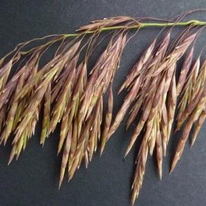 Bromopsis inermis (Leyss.) Holub (Brome inerme)