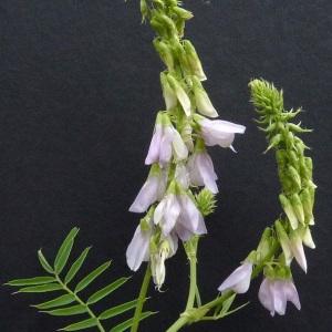 Photographie n°34476 du taxon Galega officinalis L. [1753]