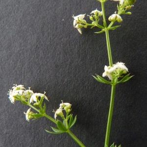 Photographie n°34478 du taxon Galium mollugo subsp. erectum Syme [1865]