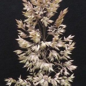 Photographie n°34480 du taxon Holcus lanatus L.