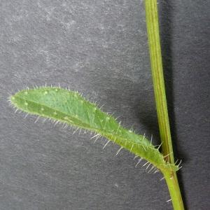 Photographie n°34489 du taxon Picris echioides L.