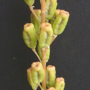 Photographie n°34492 du taxon Reseda lutea L. [1753]