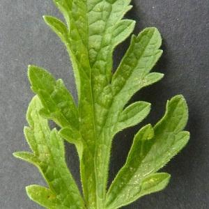 Photographie n°34504 du taxon Verbena officinalis L.