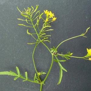 Photographie n°34544 du taxon Rorippa palustris (L.) Besser [1821]