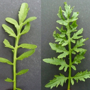 Photographie n°34545 du taxon Rorippa palustris (L.) Besser [1821]