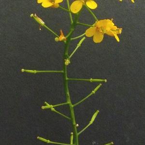 Photographie n°34547 du taxon Rorippa palustris (L.) Besser [1821]