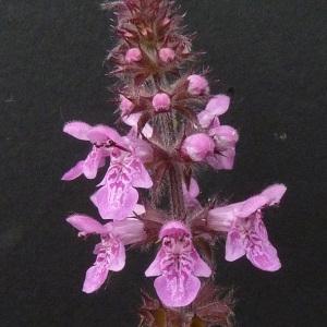 Photographie n°34548 du taxon Stachys palustris L. [1753]
