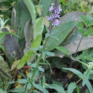 Photographie n°34551 du taxon Lythrum salicaria L. [1753]