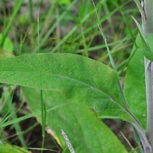 Photographie n°34557 du taxon Digitalis purpurea L.