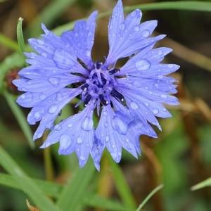 Photographie n°34570 du taxon Centaurea cyanus L.