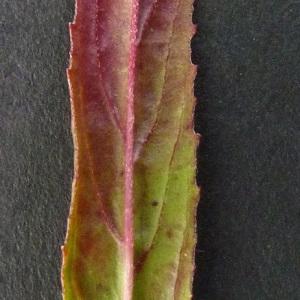 Photographie n°34659 du taxon Epilobium tetragonum subsp. tetragonum