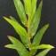 Bertrand BUI - Epilobium tetragonum subsp. tetragonum